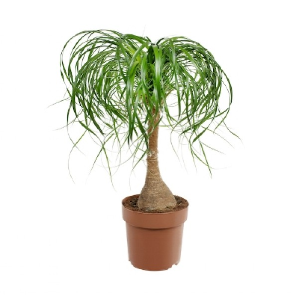 Nolina Palm - Elephant Foot, Ponytail palm