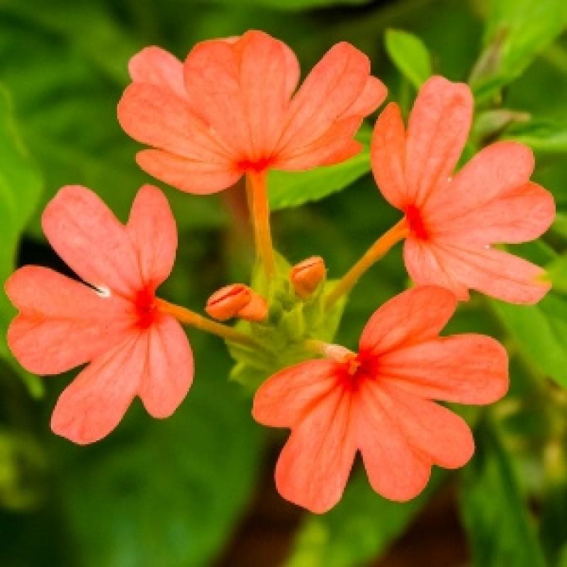 Buy Aboli Firecracker Flower Plant Online India At