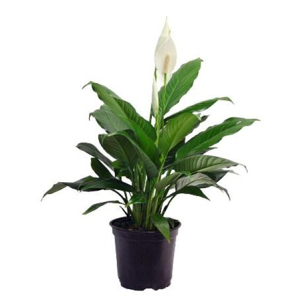Peace Lily, Spathiphyllum Indoor Air Purify Plant