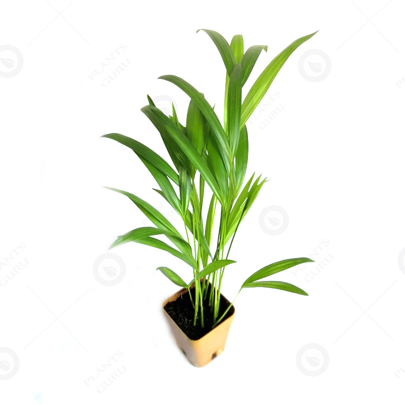 Best Indoor Plants For Small Pots: Buy Areca Palm (small) Plant Online At Low Price On