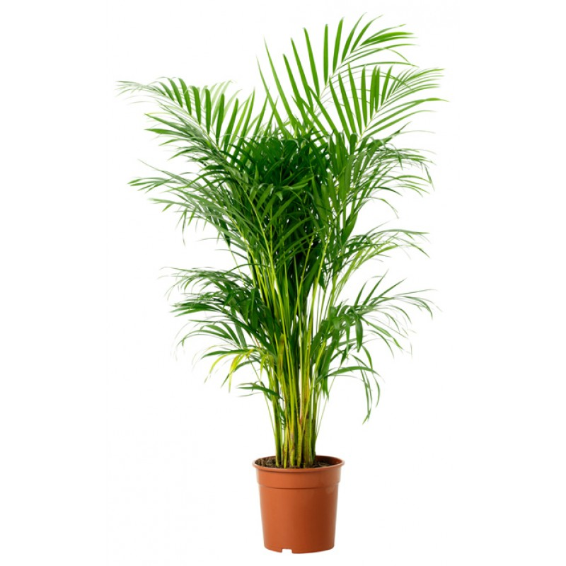 Areca Palm Plant Online At