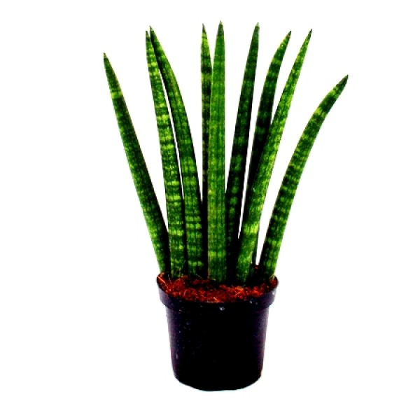 Sansevieria cylindrica Long, Snake Plant - Mother in Law Tongue Plant