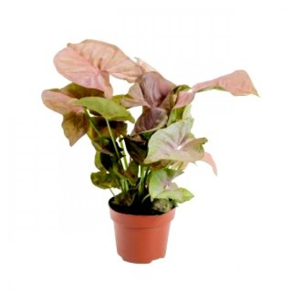 Syngonium Pink - Arrowhead Vine, Arrowhead Plant, Syngonium podophyllum