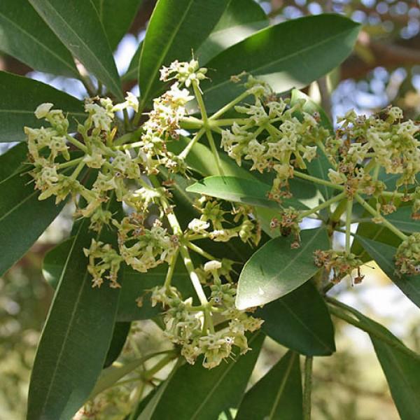 Saptaparni (Alstonia Scolaris) Plant