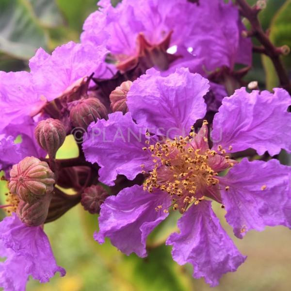 Lagerstroemia Speciosa Plant, Pride of India, Tahman