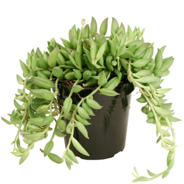 Senecio Radicans - Strings of Banana