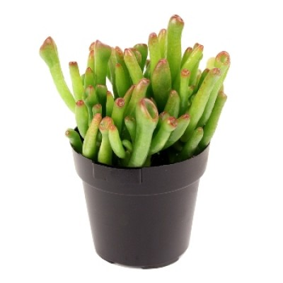 Crassula Hobbit Succulent Live Plant with Pot