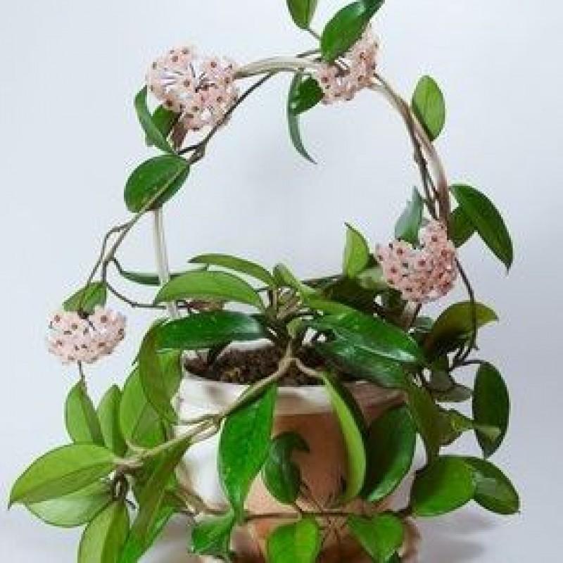 Buy Hoya White Flower Plant Online At Cheap Price On