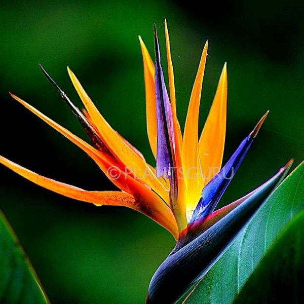 Bird of Paradise Plant, Crane Flower, Strelitzia Reginae