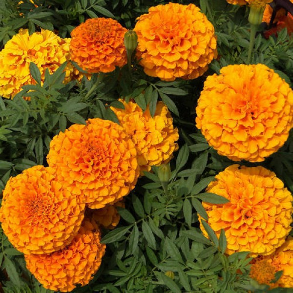 Omaxe Marigold Cracker Jack Seeds