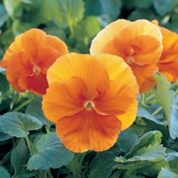 Omaxe Pansy F1 Arancione Orange Seeds