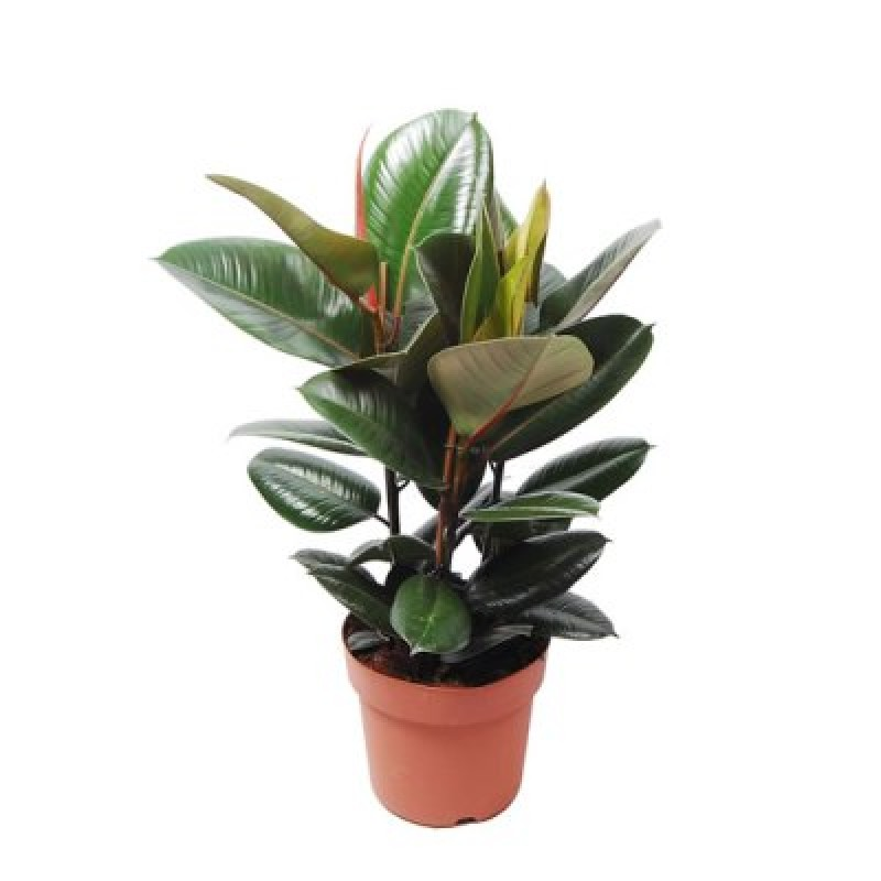 Buy Baby Rubber (Ficus Elastica) Plant online India at ...  Buy Baby Rubber...