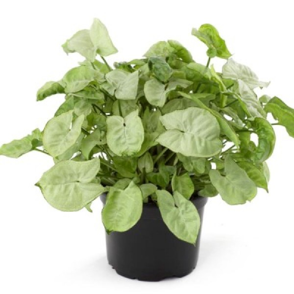 Syngonium White Indoor Air Purifier Plant