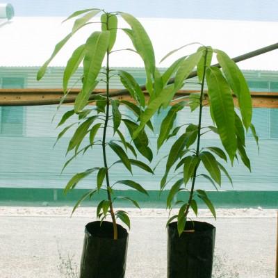 Mango Amrapali Plant (Grafted) - Amba, Aam Amrapali Tree