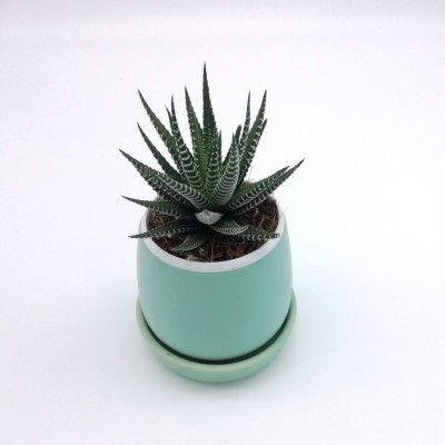 Haworthia Zebra Plant in Green Round Ceramic Pot