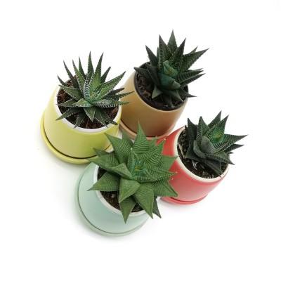 Haworthia Plant (Pack of 4) in Round Ceramic Planters