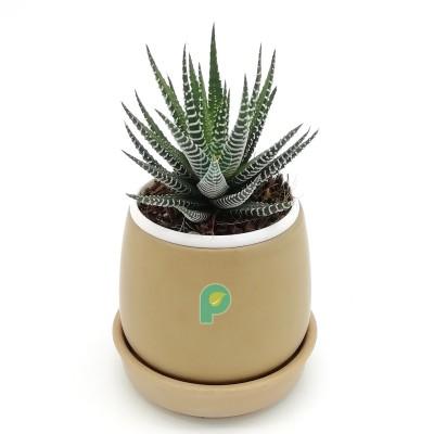 Haworthia Zebra Plant in Brown Round Ceramic Pot