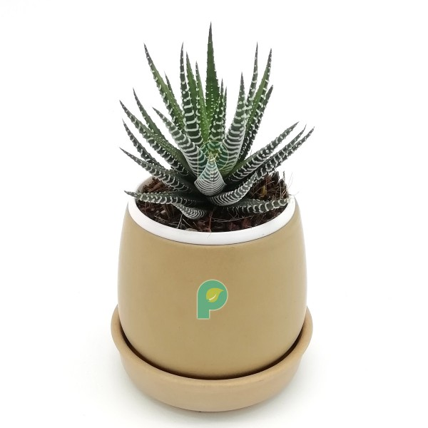 Haworthia Zebra Plant in Brown Round Ceramic Pot