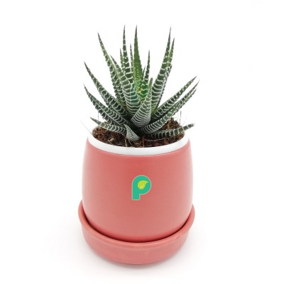 Haworthia Zebra Plant in Peach Round Ceramic Pot