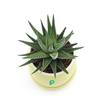 Haworthia Zebra Plant in Yellow Round Ceramic Pot