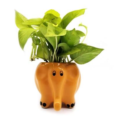 Money Plant in Citrus Elephant Ceramic Pot