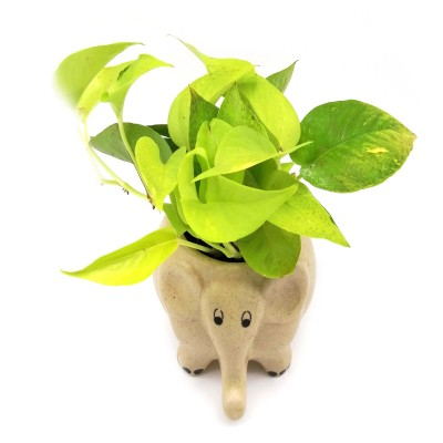 Money Plant in Creamy Elephant Ceramic Pot