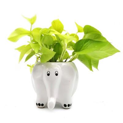 Money Plant in White Elephant Ceramic Pot
