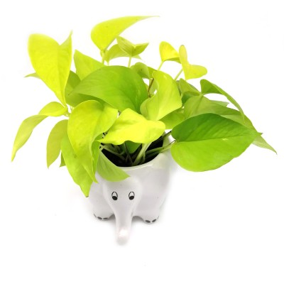 Money Plant in White Elephant Ceramic Pot