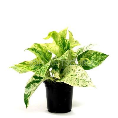 Money Plant Marble Queen Indoor Plant