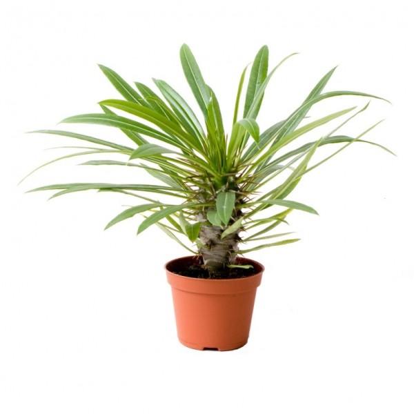 "Madagascar Palm ""Pachypodium Lamerei"" Plant"