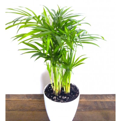 Areca Palm Indoor Plant (pot included: white color)