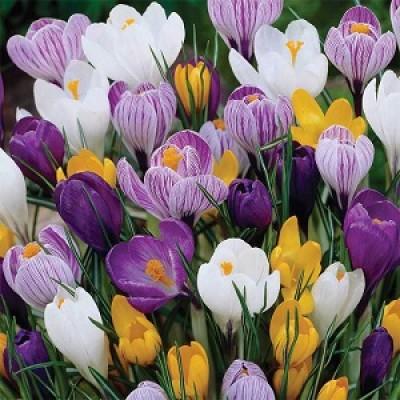 Crocus Lily 5 Bulbs