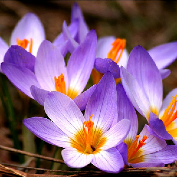 Crocus Lily 5 Bulbs