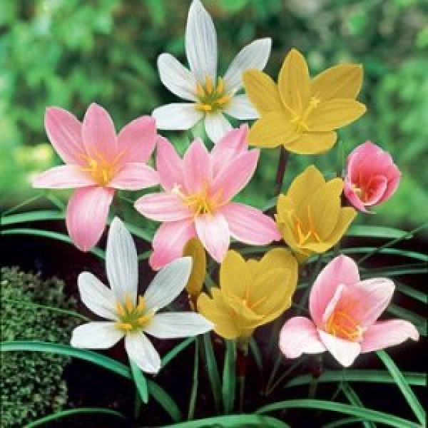 Zephyranthes Bulbs - Rain Lily (Mix, 6 Bulb)
