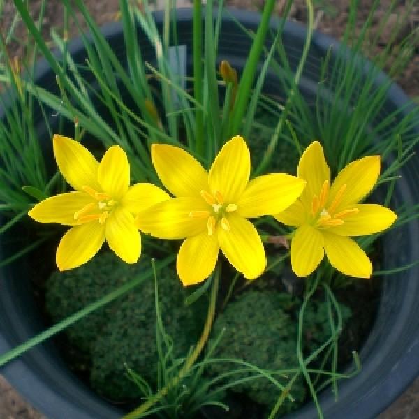 Zephyranthes Yellow Plant