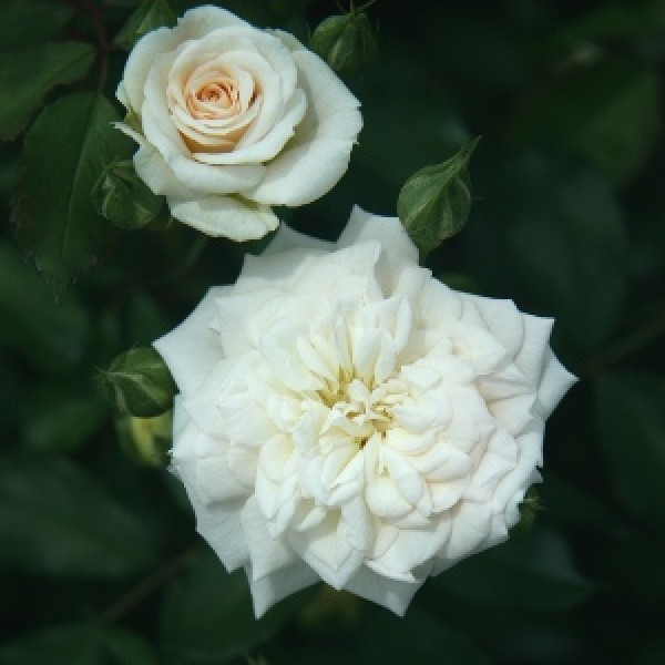 Rose Miniature White - Button Rose, Button Gulab