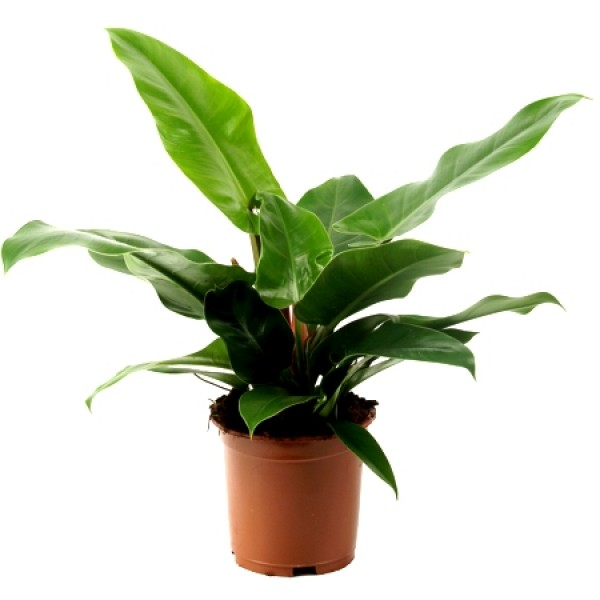 Philodendron Congo Plant