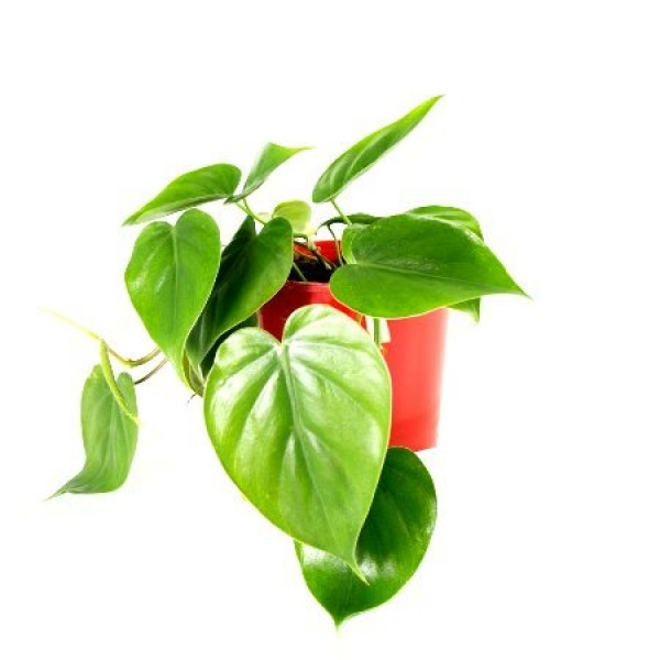 Philodendron Heart Leaf Green - Oxycardium Green