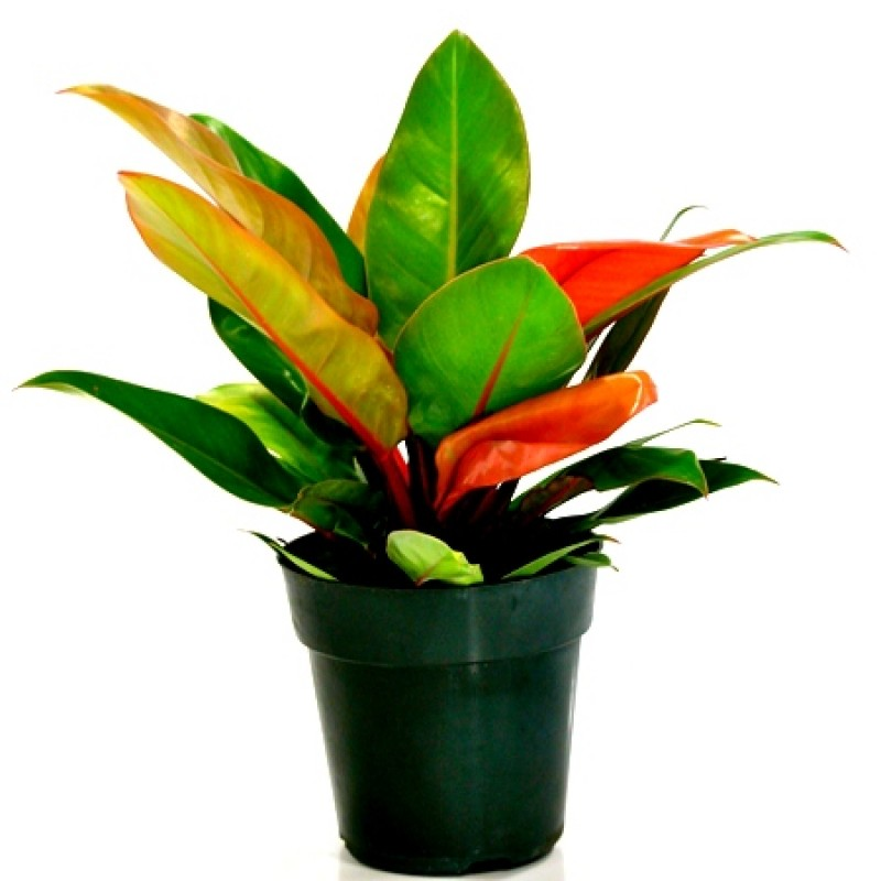 Buy Philodendron Pink Princess Foliage Plant Online At