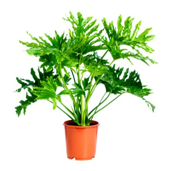 Philodendron Sellum Plant