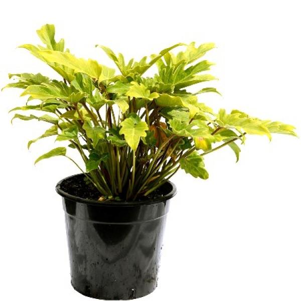 Philodendron Xanadu Plant