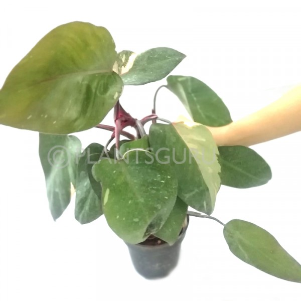 Philodendron Pink Princess Plant