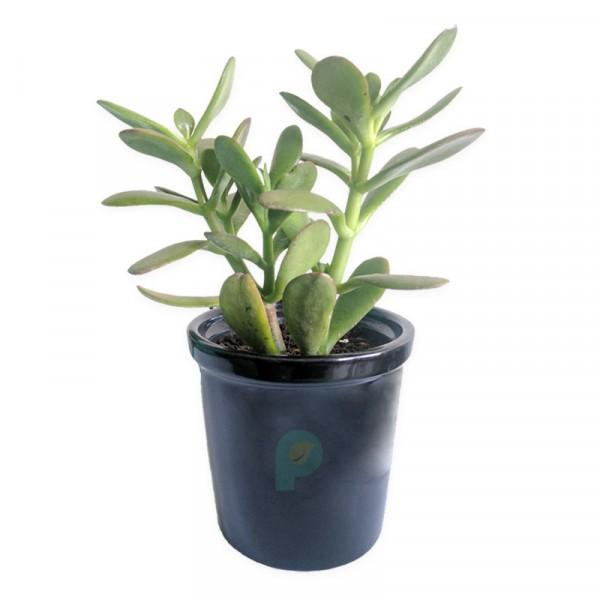 Crassula Ovata (jade) good luck House plant with gray ceramic pot