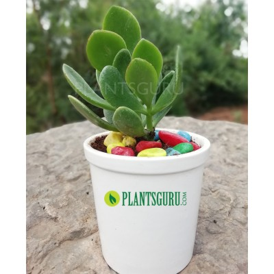 Crassula Ovata (jade) good luck House plant with ceramic pot