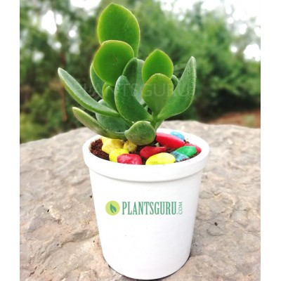 Crassula Ovata (jade) good luck House plant with ceramic pot