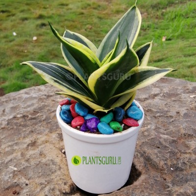 "Sansevieria trifasciata ""Jade Dwarf Marginated"" Snake Plant with Ceramic Pot"