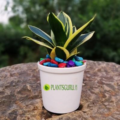 "Sansevieria trifasciata ""Jade Dwarf Marginated"" Snake Plant with Ceramic Pot"
