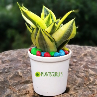 "Sansevieria trifasciata Golden ""Hahnii"" dwarf Snake Plant with Ceramic Pot"