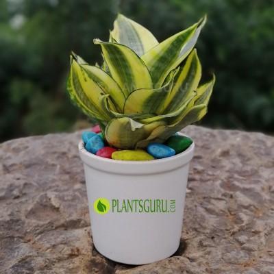 "Sansevieria trifasciata Golden ""Hahnii"" dwarf Snake Plant with Ceramic Pot"