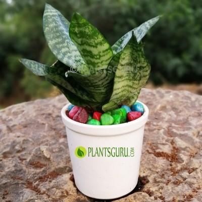 """Sansevieria trifasciata """"Hahnii"""" Snake Plant with Ceramic Pot"""